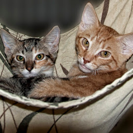 Resting in a hammock by Jackie Stoner - Animals - Cats Kittens ( friendly kittens, resting, kittens, hammock, grey and yellow )