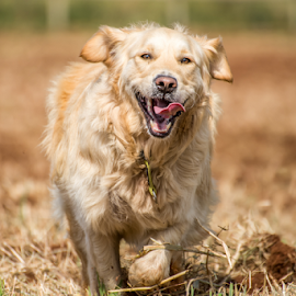 Golden Retriever in Fields by Jacques Jacobsz - Animals - Dogs Running ( retriever, tongue, chasing, fun, flapping, run, running, playing, canine, female, pet, retrieve, happy, man's best friend, dog, fast, canidae, golden, healty, ploughed, golden retriever, fields, out )