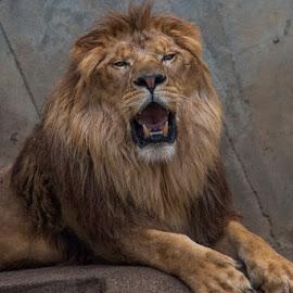 by Deni Dahlan - Animals Lions, Tigers & Big Cats (  )