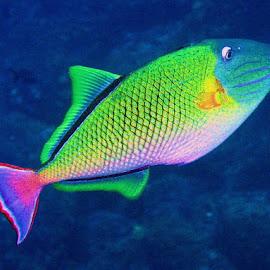 Red Tail Triggerfish by Phil Bear - Animals Fish ( trigger fish, fish, galapagos )