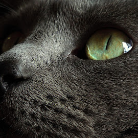 cat closeup profile by Sheila Attia - Animals - Cats Portraits ( cat, profile, eyes,  )