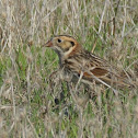Lapland Longspur (winter)