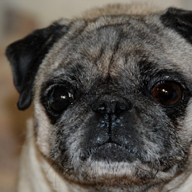 Doggy Face 1 by Rita Uriel - Animals - Dogs Portraits ( face, model, smile, dog, portrait, pug )