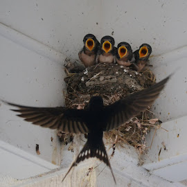 Saw the nest when I was at the festivities, had to grab a shot by Michael Griffin - Animals Birds