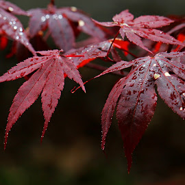 After the rain. by Dipali S - Nature Up Close Leaves & Grasses ( nature, foliage, drops, maroon, japanese, leaf, rain, maple )