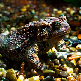 Toad in Aquarium by Dave Skorupski - Animals Amphibians ( pebble, zoo, frog, aquarium, toad, pebbles, amphipian,  )