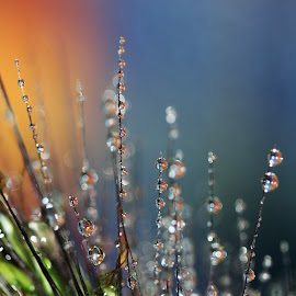 Grasses at Sunrise by Janet Herman - Abstract Macro ( grasses, abstract, macro, grass, dew, dewdrops, sunrise )
