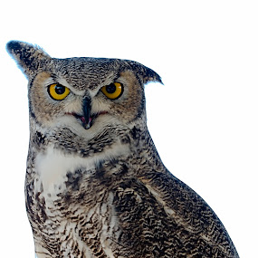 Great Horned Owl by Steve Forbes - Animals Birds (  )