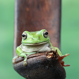 Faithfully waiting by Kurito Afsheen - Animals Amphibians