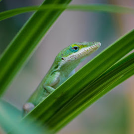 by Norman Rowsey - Animals Reptiles ( #naturephotography delete #nature · #lizards · #anole · #lizard · #colorful · #reptiles )