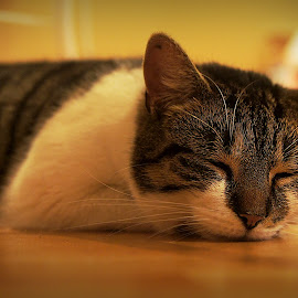 Dreamer by Luke Moseley - Animals - Cats Portraits ( cats cat animals sleeping dof )