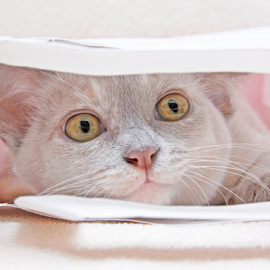 In a paper bag by Mia Ikonen - Animals - Cats Kittens ( playing, funny, finland, burmese, lurking,  )