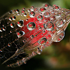 If Beauty Disappears by Marija Jilek - Nature Up Close Natural Waterdrops ( water, nature, seed, goat-beard, plants, natural waterdrops, beauty )