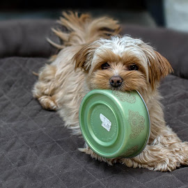 Schotzie, contemplating where to hide her dish. by Chandler McGrew - Animals - Dogs Playing