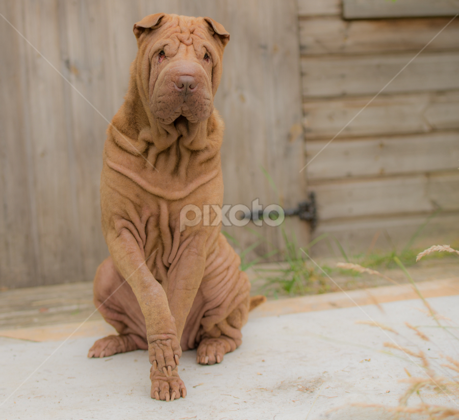 GIVE US A PAW  by Michael  M Sweeney - Animals - Dogs Portraits ( murphy sharpei dog, nikon, murphy, dog scotland, paw, michael m sweeney, d800, doggy, dog, sharpei )