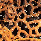 Pretzel Slime colonized by the fungus Polycephalomyces tomentosus