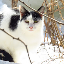 Stray by Erika  Kiley - Novices Only Pets ( cats, winter, black and white, pet, snow )
