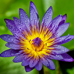Purple blue by Charliemagne Unggay - Nature Up Close Flowers ( natural flower, water drops, nature, water lily, flower )