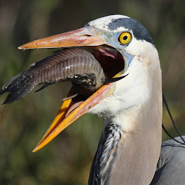 Catch of the weekend!! by Anthony Goldman - Animals Birds ( bird, fish, heron.great blue, catch.wild, lakeland )