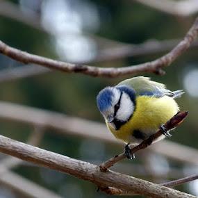 Sýkorka v parku by Helena Moravusova - Animals Birds ( bird )