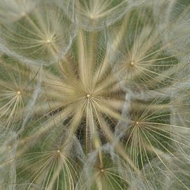 by Susan Fries - Nature Up Close Other plants ( macro, closeup image, dandelion )