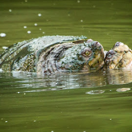 Come On Baby Light My Fire by Stan Lupo - Animals Reptiles ( reptiles, wildlife photography, snapping turtles, turtles, turtles mating,  )