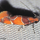 Orange-headed Epicallima Moth