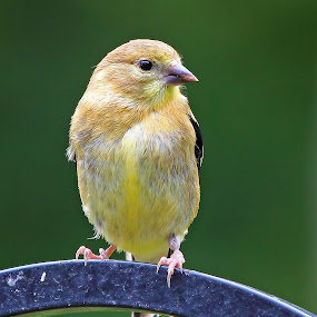 Female Goldfinch in Autumnal colouring by Andrew Lawlor - Animals Birds
