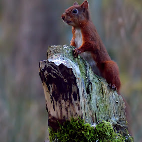 Red Squirrel by Bob Rawlinson - Animals Other Mammals ( squirrels )