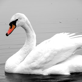 Swan by Magdalena Dedić - Novices Only Wildlife ( bird, water, swan, lake, spring, animal )