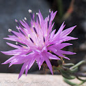 Rough Star-thistle
