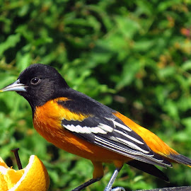 Baltimore Oriole by Steve Munford - Animals Birds ( asabot, oriole, baltimore, birds )