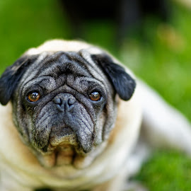 Shooter by Peder Magerøy - Animals - Dogs Portraits ( love, shooter, sweet, lawn, relax, grass, hound, pet, male, dog, pug )