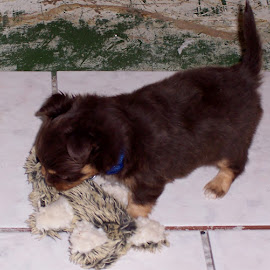 chip playing by Debbie Theobald - Animals - Dogs Playing ( playing, puppies, fluffy, toys, puppy,  )