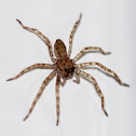 Baby Brown Huntsman Spiders