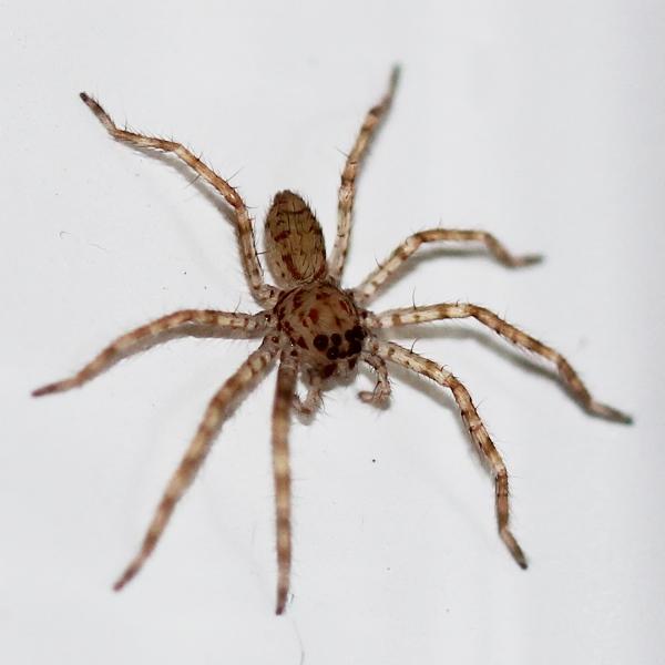 baby brown huntsman spiders project noah