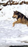 Screenshot of Wolf Wallpapers