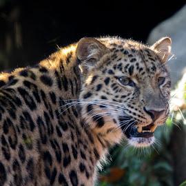 Amur leopard by Pietro Ebner - Animals Lions, Tigers & Big Cats