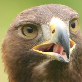 Goldie 4 by Garry Chisholm - Animals Birds ( bird, garry chisholm, eagle, nature, wildlife, prey, raptor, gold )