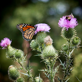 Butterflies and Bees by Shawn Klawitter - Animals Insects & Spiders ( animals, bees, nature, butterflies, insects, flower )
