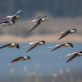 the flight of the arrows by Claudio Cavalensi - Animals Birds ( flight, nature, wildlife, birds )