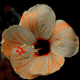 Selective Orange by Pranavesh NeverSerious - Novices Only Flowers & Plants ( orange, hibiscus, red, selective color, focuss, flower, pwc )