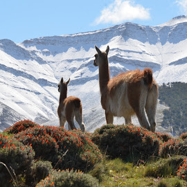 Guanacos in Patagonia  by Janet Rose - Novices Only Wildlife