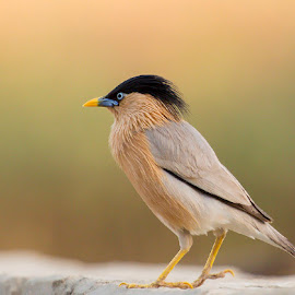 Brahmini Starling by Mukesh Garg - Animals Birds ( bird animals brahministarling nature wildlife portrait )