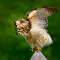 hawk-takeoff2-G-Shiloh-book.jpg