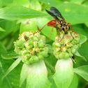 Jamaican Digger Wasp