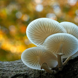 autumn still life by Constant van Bommel - Nature Up Close Mushrooms & Fungi ( macro, autum, porseleinzwam, nature up close, fungus )