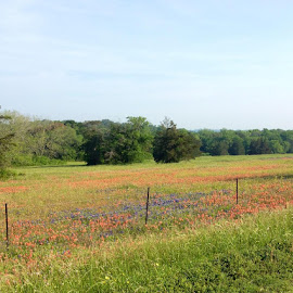 Texas Wildflowers in spring by Kristi Muck - Landscapes Prairies, Meadows & Fields