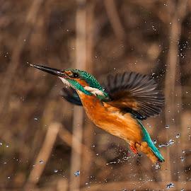 Just missed the fish by Øyvind Håvarstein-Hustoft - Animals Birds (  )