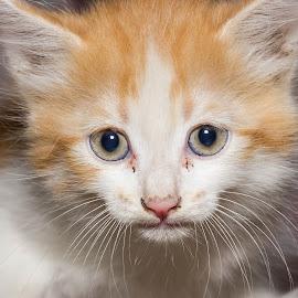 A Cute Kitten! by Sadatul Islam - Animals - Cats Kittens ( #closeup, #cat, #kitten )